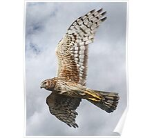 Northern Harrier - Female - Close-up Poster