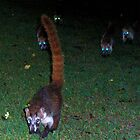Coati of Playacar by Carole Boudreau