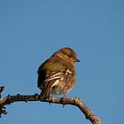 Female Chaffinch by Jon Lees