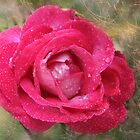 Rose after the Rain by Ann Persse