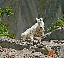 Rocky Mountain Goat by Vickie Emms