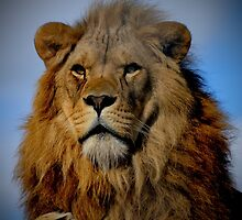 Portrait of a Proud Male African Lion with Amber Eyes by HotHibiscus
