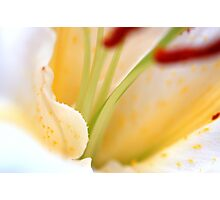 White Cream Delicate Lily Flower with Burgundy Red Stamen Photographic Print