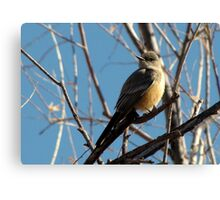 Say's Phoebe ~ Adult Canvas Print