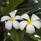 Plumeria Couple by Ryan Fritch