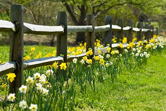 Daffodil Fence by crystalseye