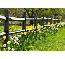 Daffodil Fence Photographic Print