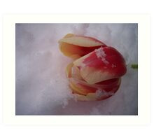 Frozen tulip Art Print