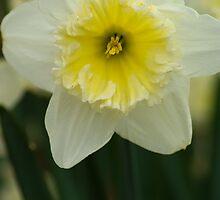 Daffodil by crystalseye