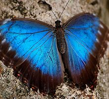 Iridescent Aqua Blue Wings of Blue Morpho Butterfly in Costa Rica by HotHibiscus
