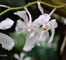 White Orchid by naveenbanga