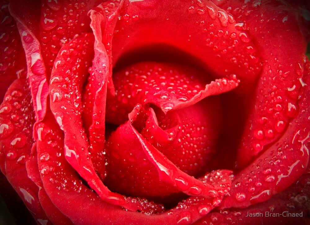 Rose After Rain by Jason Bran-Cinaed