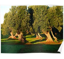 Olive trees Poster