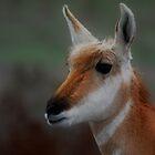 antelope doe #111 by Rodney55