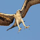 Osprey up close by Rob Lavoie