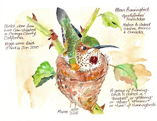 Phoebe, the Allen's Hummingbird by Maree  Clarkson