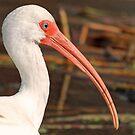White ibis portrait by jozi1
