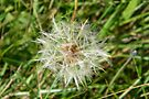 Dandilion Seed by LoneAngel