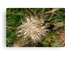Thistle Seed Head Canvas Print