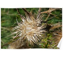 Thistle Seed Head Poster