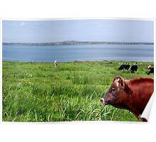 Cattle heaven Poster