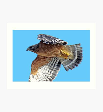 Red-shouldered Hawk Cruising Along  Art Print