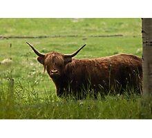 Scottish Longhorn Photographic Print