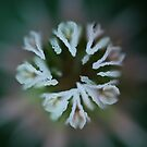 Dew Drops on a Weed Flower by Selina Tour