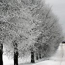 Trees line  in winter pathway from old farm by Antanas
