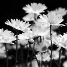 Daisy Swing by EchoNorth
