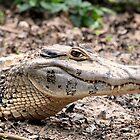 Spectacled Caiman by Paul Duckett