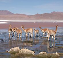 Guanaco in Salt Lakes by Paul Duckett