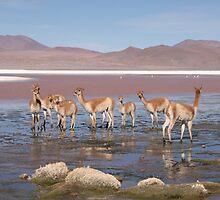 Guanaco in Salt Lakes by Paul Duckett