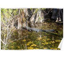Everglades Alligator Poster