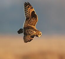 Short eared owl  by Dean   Eades