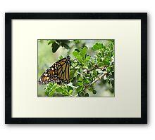 Butterfly ~ Monarch Framed Print