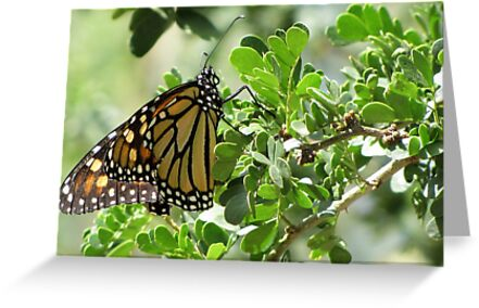 Butterfly ~ Monarch by Kimberly P-Chadwick