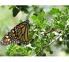 Butterfly ~ Monarch Photographic Print