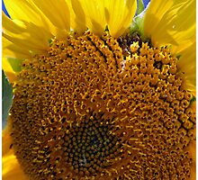 Sunflower Heart - - Cards by Maria A. Barnowl