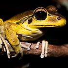 Litoria wilcoxi - Stoney Creek Frog by D Byrne