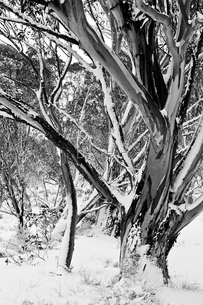 0528 Snowgums in Snow  by DavidsArt
