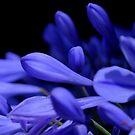 Agapanthus Blues by Lozzar Flowers & Art