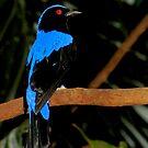 I'm So Beautiful  (Asian Fairy Bluebird) by Robert Miesner