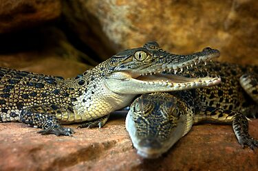 ~Little Crocs~ by a~m .