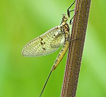 Mayfly by Richard Bowler