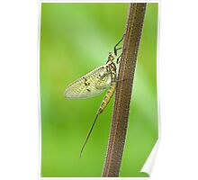 Mayfly Poster