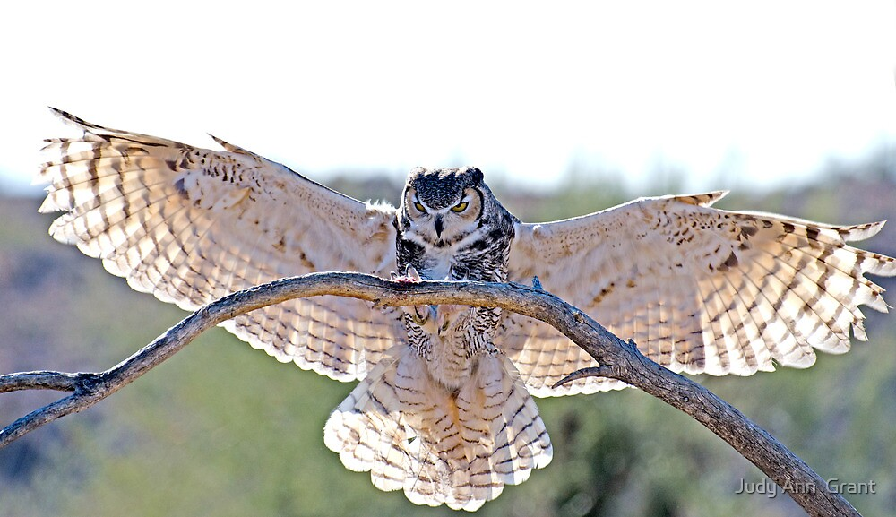 Great Horn Owl Wingspan by Judy Grant