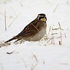 Horned Lark by Dave & Trena Puckett