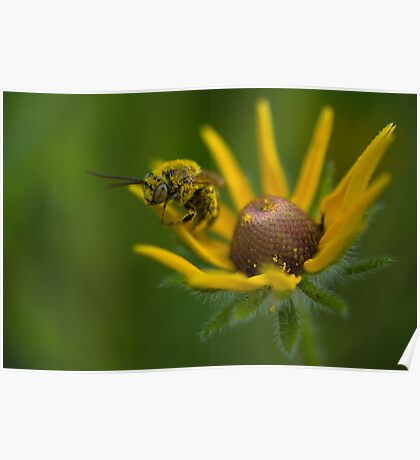 Bee on Black-eyed Susan Poster