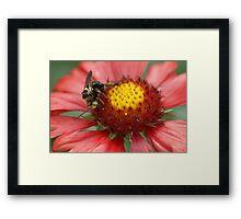 Bee on Firewheel Framed Print